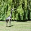 4ft Recycled Metal Giraffe Sculpture in Situ in the Garden
