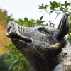 Close-up of the Face of the Pig Sculpture