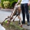 Giraffe Garden Sculpture in Situ