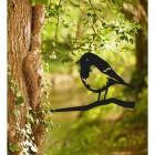 Robin Tree Spike in Situ