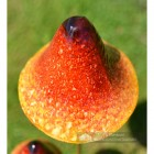 Bright Orange Double Head Mushroom Garden Spike Close Up