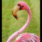 Close-up of the Flamingos Beak