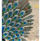 Close-up of the Peacock's Tail Feathers