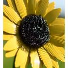 Sunflower Garden Flower Spike