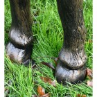 Close up of Highland Cow Hooves