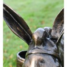 Close up of Donkey's ears and mane