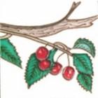 Square Trivet Cherries On Branch
