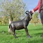 Billy Goat Garden Sculpture to Scale