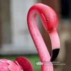 Close-up of the Head of the Flamingo