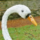 Close-up of the Face of the Swan Face
