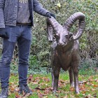 Standing Ram Sculpture next to male for proportion