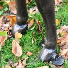 Close up of donkey hooves and brasing
